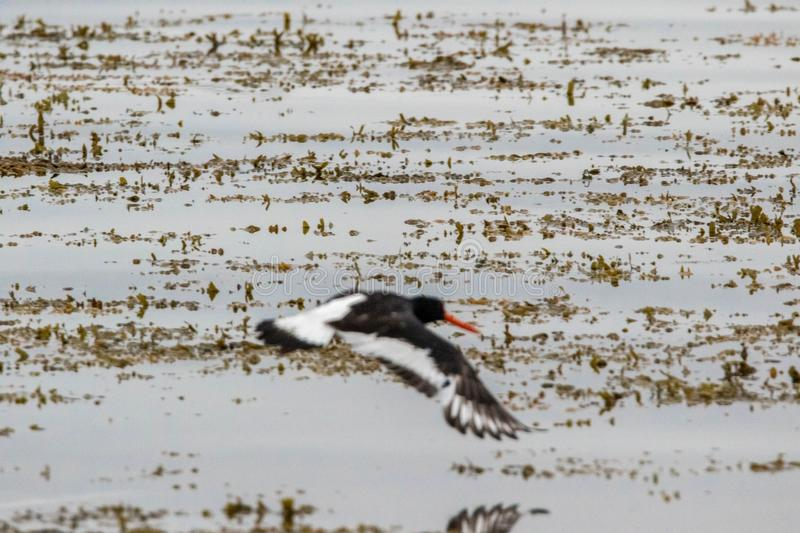 Oyster Catcher. One of the common bird types in the UK coastlines, the Oyster Catcher royalty free stock photo