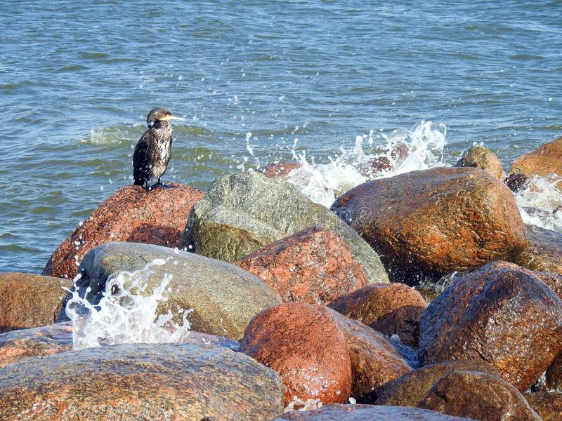Cormorant birds in Curonian spit, Lithuania stock photography