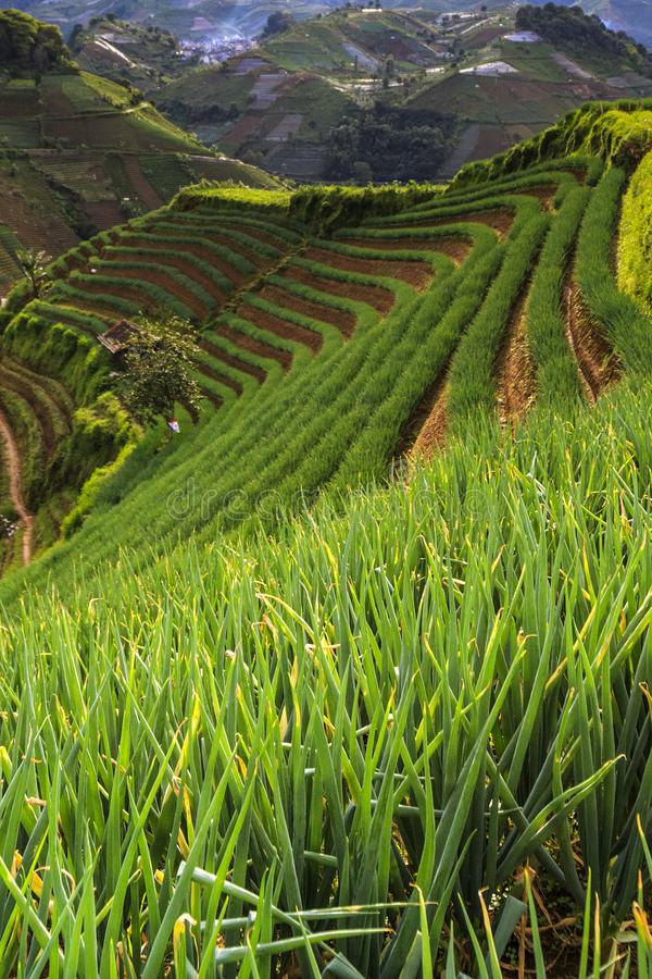 The onion plantation which is in argapura. One corner at the onion plantation in argapura majalengka west java is very beautiful place royalty free stock photos