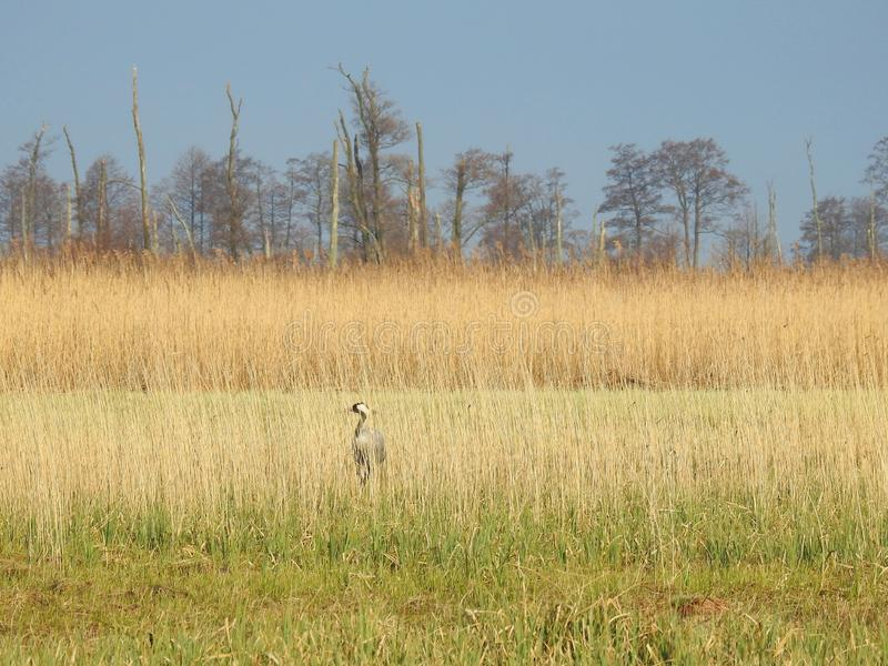 Crane bird between reed plants in swamp, Lithuania royalty free stock photo