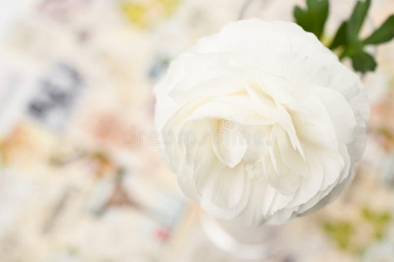 One cream-colored Ranunculus asiaticus flower stock photos
