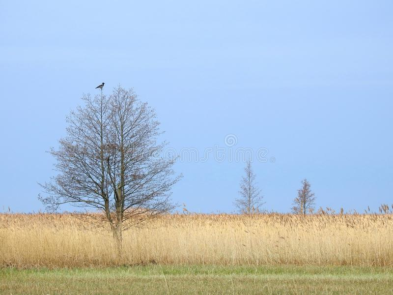 Crow bird on tree top in spring, Lithuania stock image
