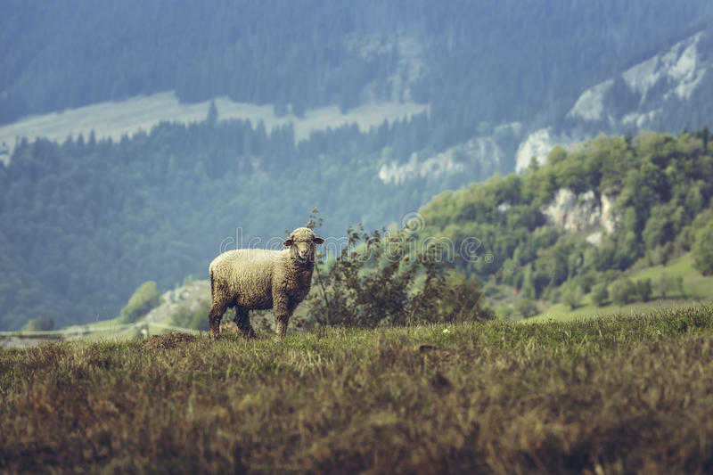 One curious stray sheep. On a mountain pasture in spring, in Transylvania region, Romania royalty free stock photography