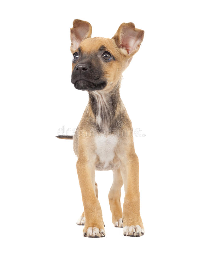 One cute mixed breed puppy. One tiny cute mixed breed puppy isolated on white background royalty free stock photo