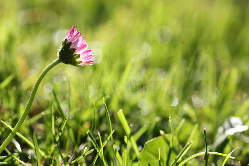 One daisy flower in the meadow. One daisy flower in the grass, brightful morning scenery with dew drops royalty free stock photo