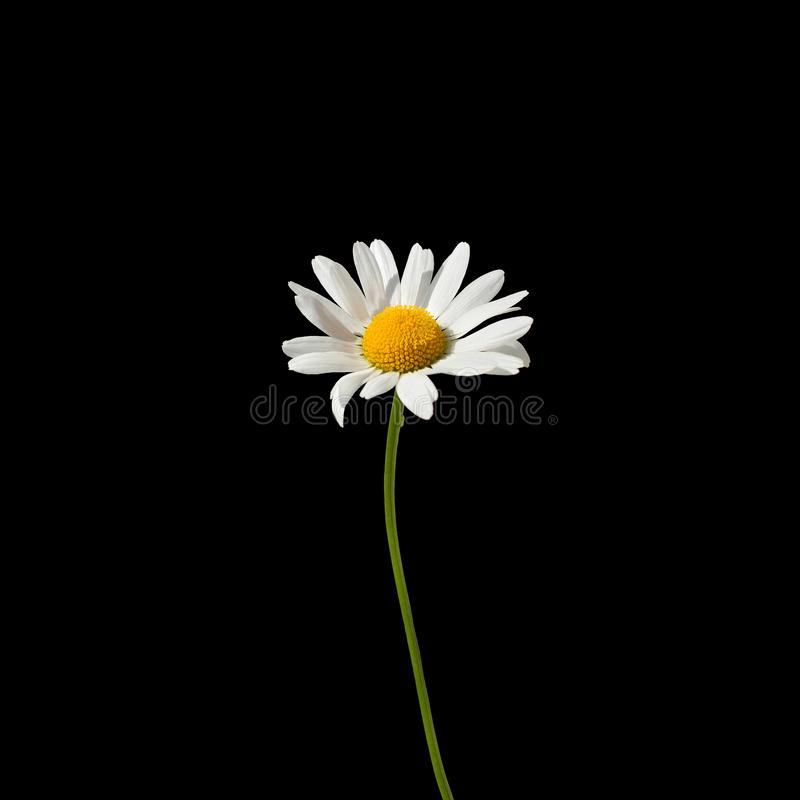 One daisy flower with white petals and yellow center on a green stem on black background close up isolated macro in square stock image