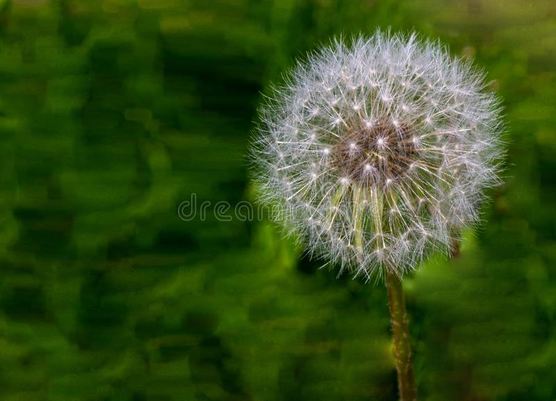 One dandelion clock isolated from the blurry green natural background.  stock image