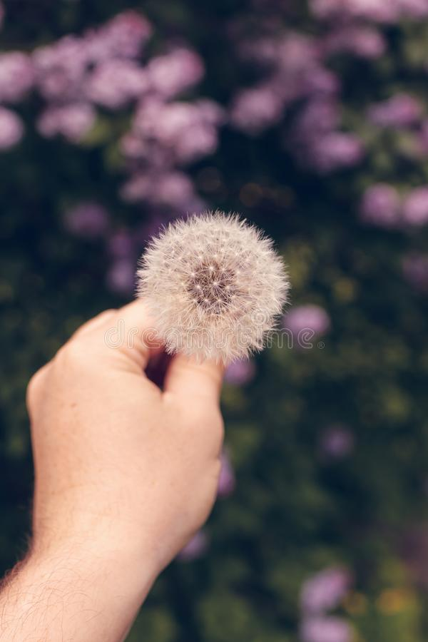One dandelion on a nature background and spring time. royalty free stock photos