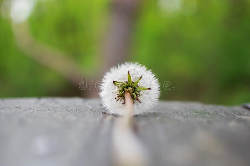 One dandelion in nature. royalty free stock image