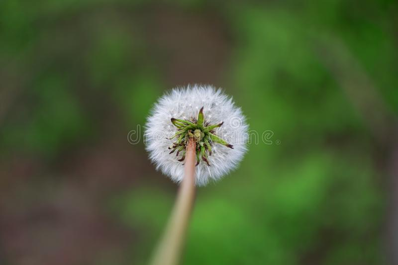 One dandelion in nature. royalty free stock images