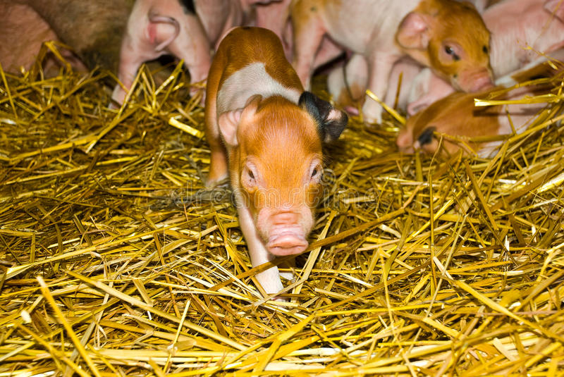 Download One day old piglets stock image. Image of family, nature - 14272989