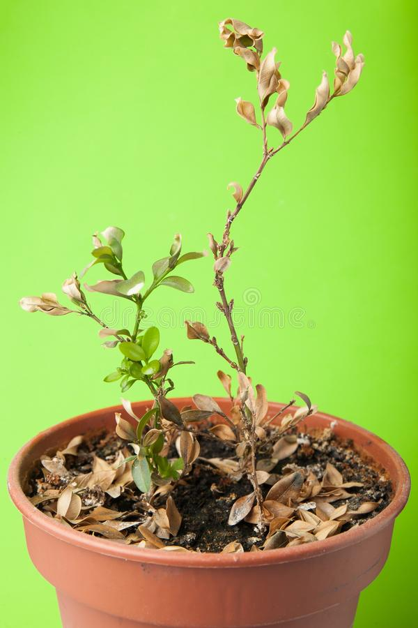 One dead plant in pot  on green background.  stock images