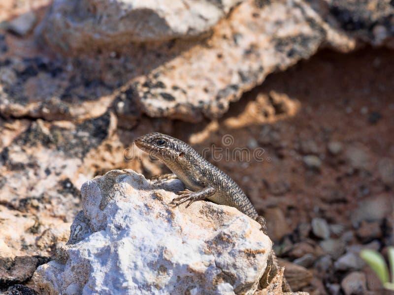 Desert Lizard in Kalahari, South Africa. One Desert Lizard in Kalahari, South Africa royalty free stock image