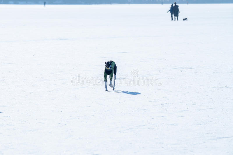 One dog running on frozen lake. One dog running on white frozen lake ice surface royalty free stock photos