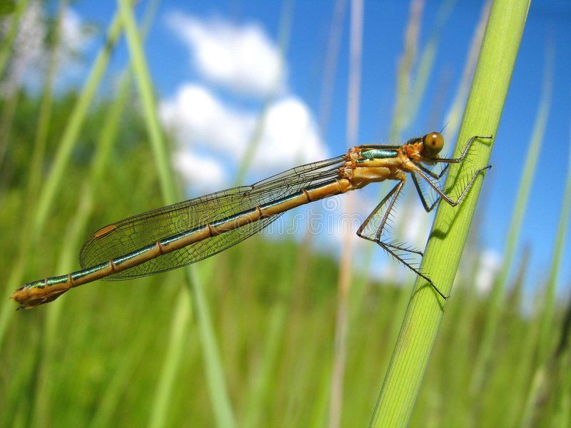 Download One Dragonfly On The Green Grass Stock Photo - Image: 5638032