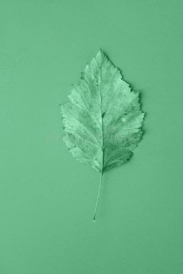 One dry autumn leaf on monochrome neo mint light green turquoise color background. Trendy poster in minimalist style. Fashion backdrop stock photos
