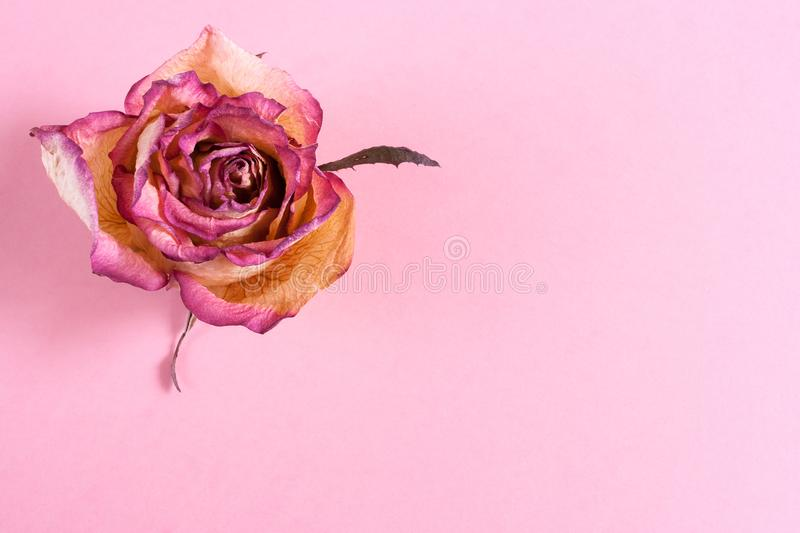 One dry pink-yellow rose on pink pastel background with copy space. stock photos