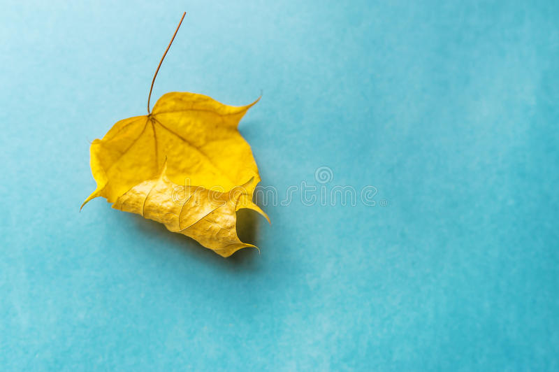 One dry yellow leaf on blue background. Autumn arrives stock photo