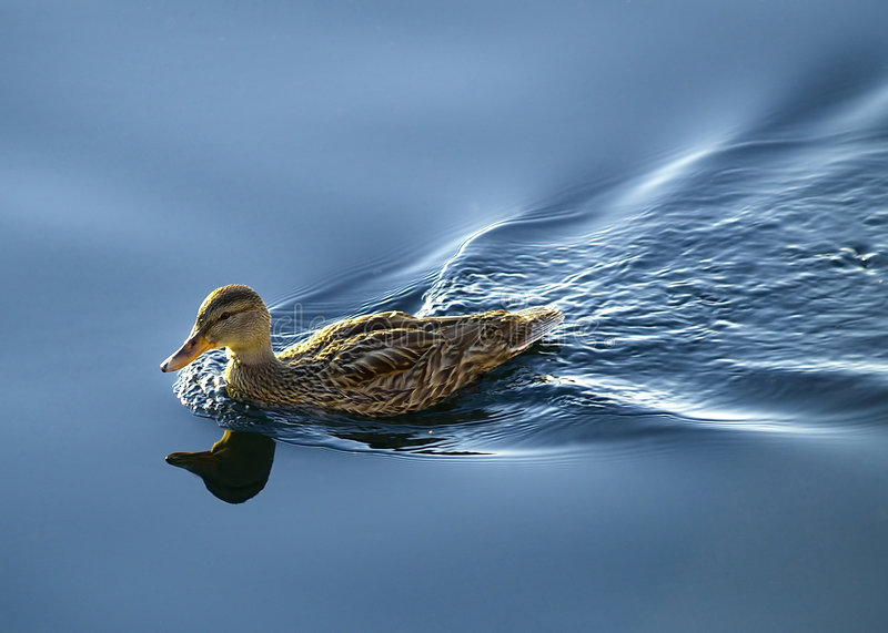 One Duck stock photography