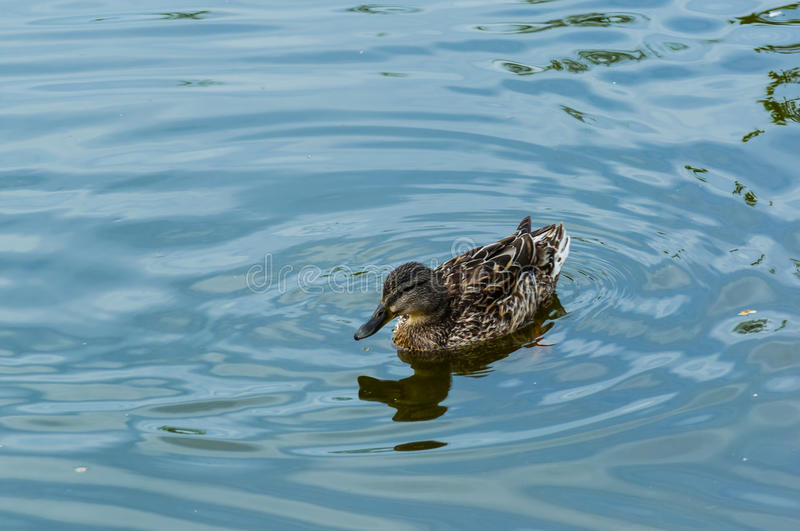 One duck. The bird, duck swims on water in the river creating circles and splashes royalty free stock photos