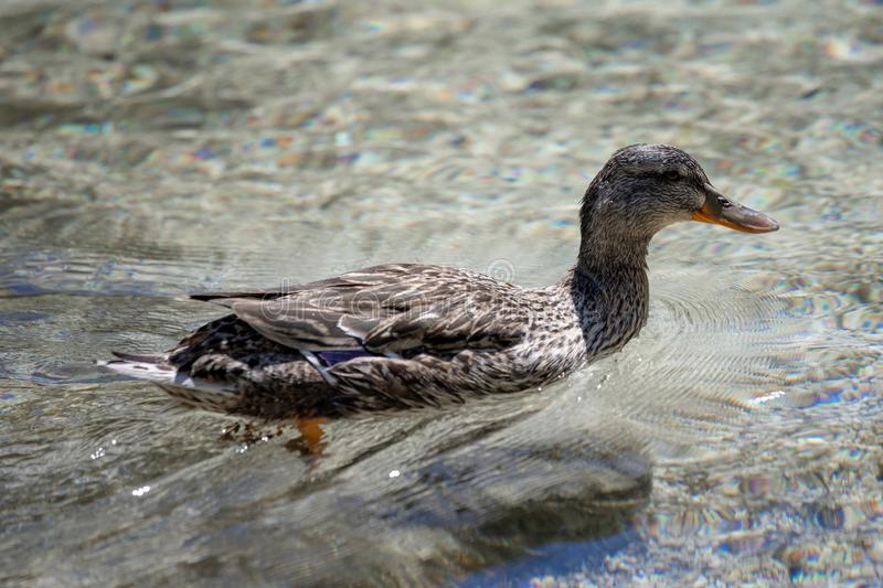 One duck swimming in Lago Ghedina, an alpine lake in Cortina D`Ampezzo, Dolomites, Italy stock images