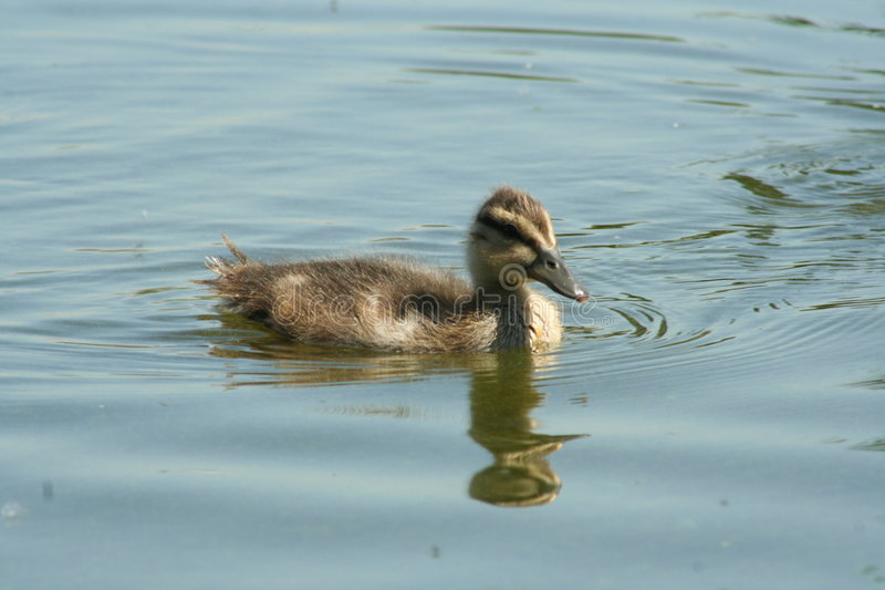 One duckling royalty free stock image
