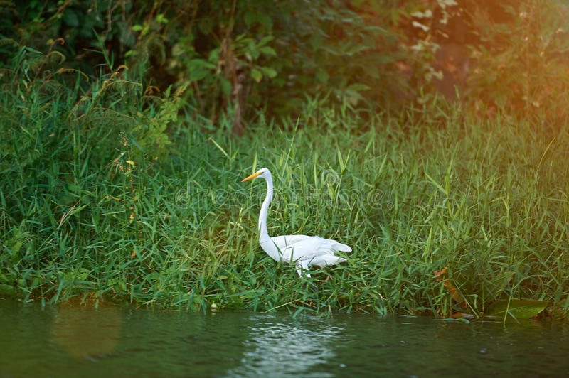One egret bird. In pond standing next to water royalty free stock photography