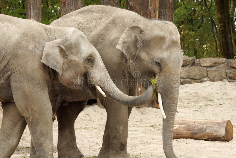 One elephant feeding the other. Two Asian elephants sharing some grass with each other in an affectionate way stock images