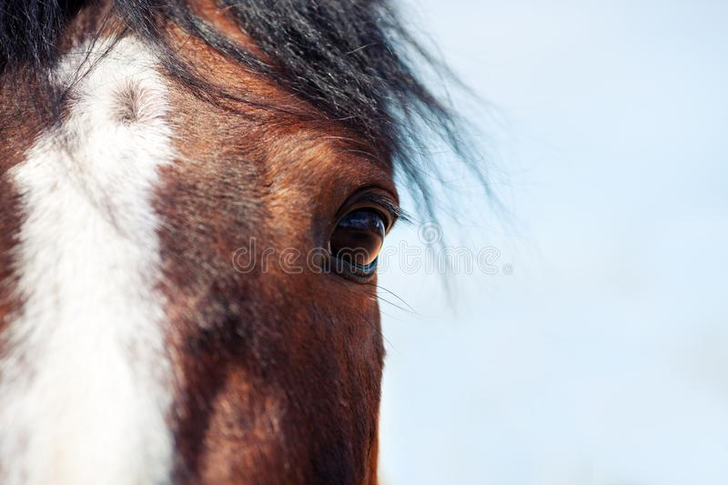 One eye Bay horse. Look ahead. stock photography