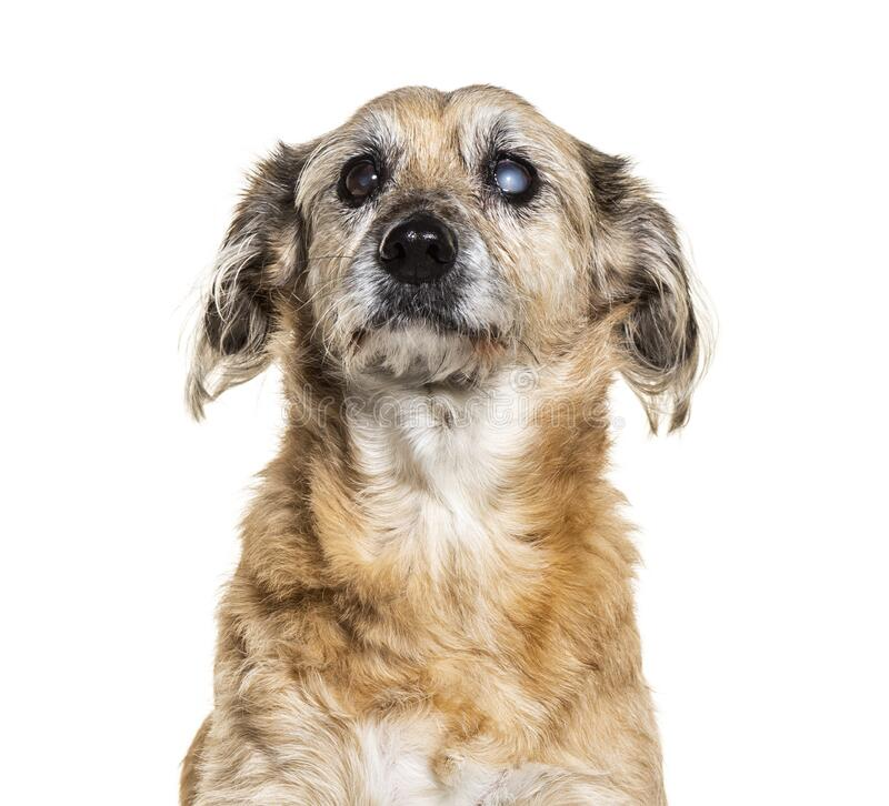 One-eyed blind, Crossbreed dog, isolated stock images