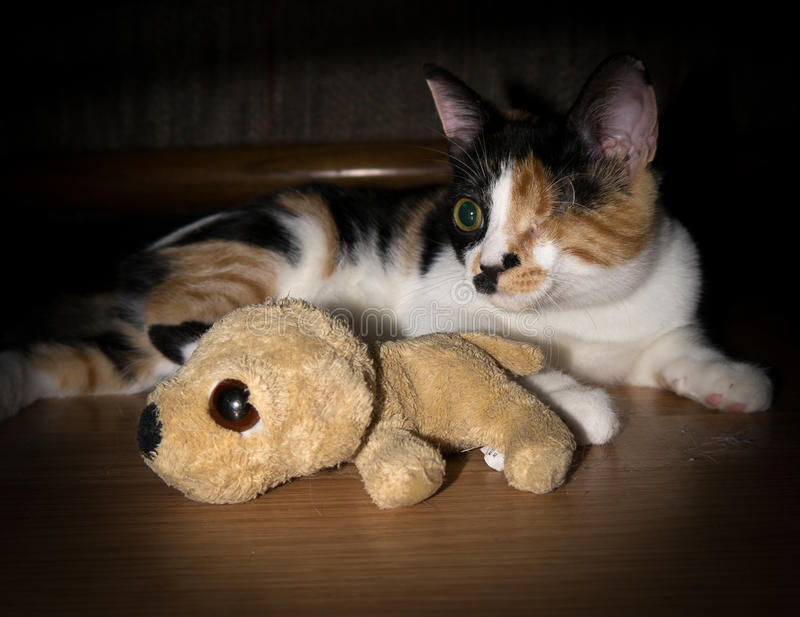 One eyed cat with play toy. stock image