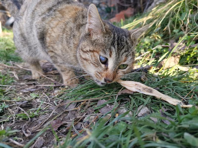 One eyed cat trying to eat. The one eyed cat trying to eat chicken in the garden royalty free stock photo