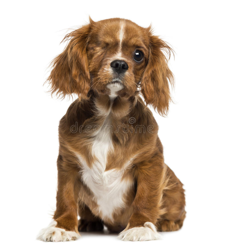 Download One-eyed Cavalier King Charles Puppy Sitting, 4 Months Old Stock Image - Image: 31505485