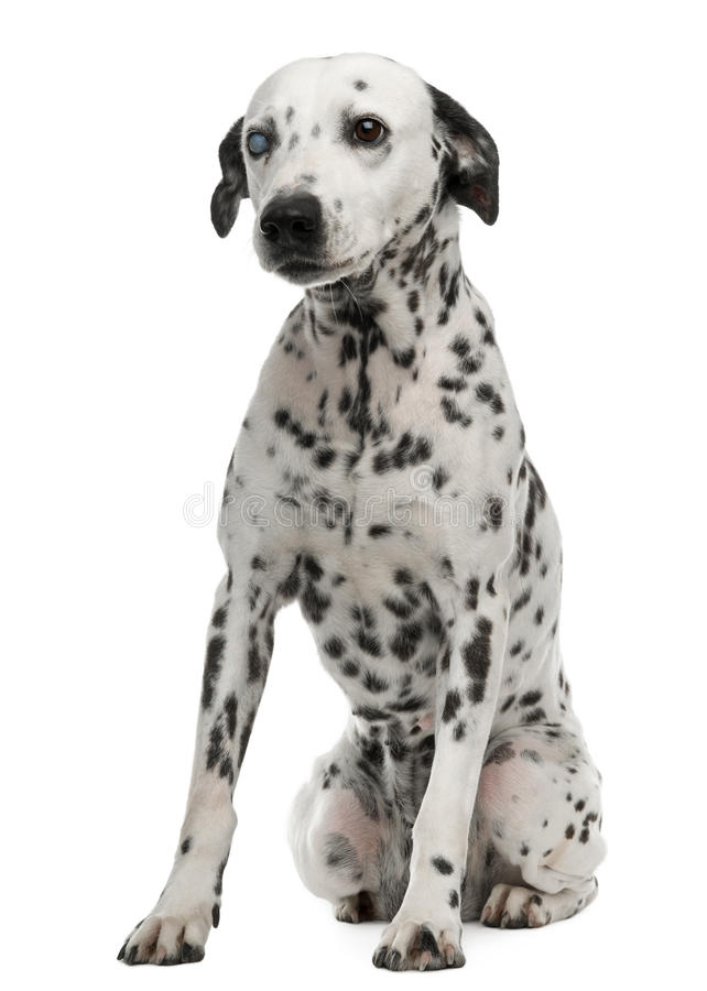 Download One-eyed Dalmation, 10 Years Old, Sitting Stock Photo - Image: 16562536