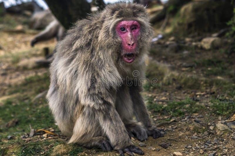 One eyed monkey in Kyoto, Japan royalty free stock image