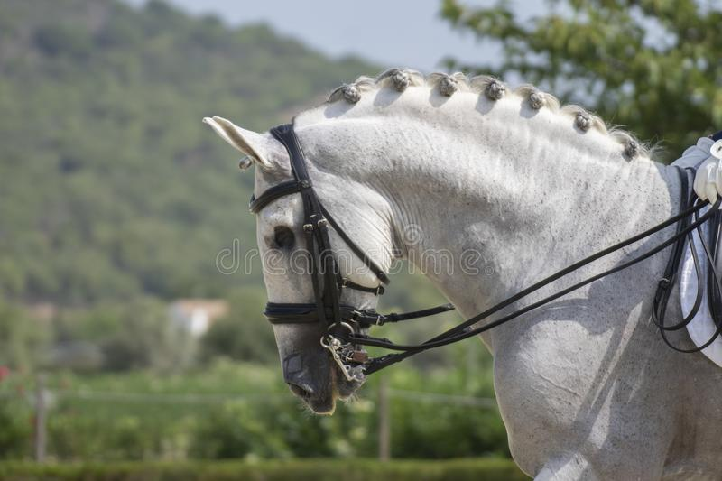 One eyed pure spanish horse in a dressage competition. One eyed spanish horse in a dressage competition in spain stock image