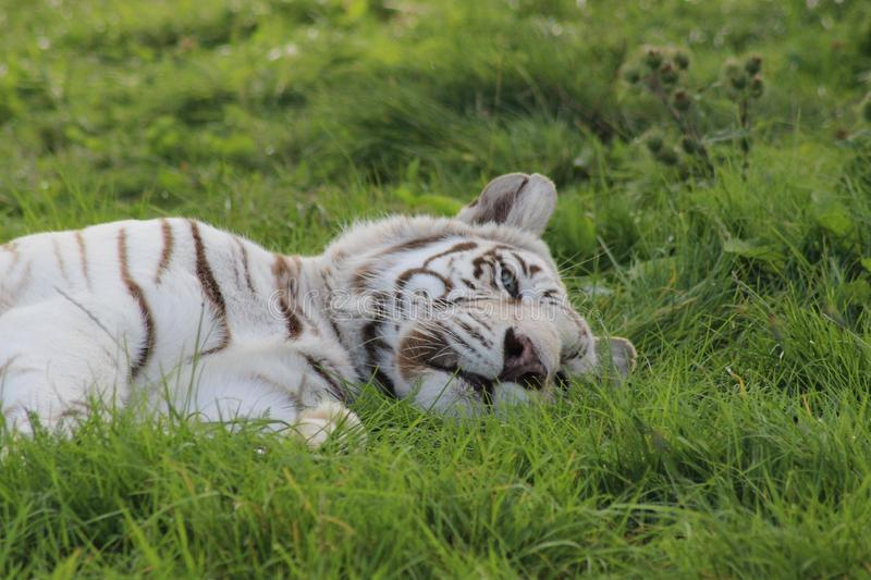 Download One Eyed Tiger stock photo. Image of grass, beautiful - 39501912