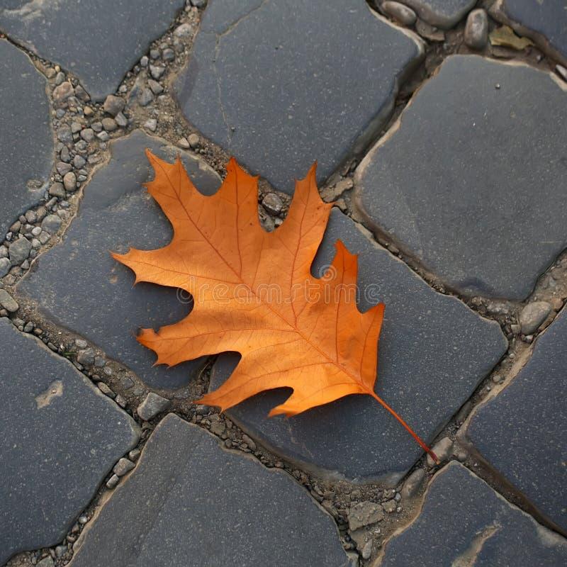 One fallen oak leaf stock image