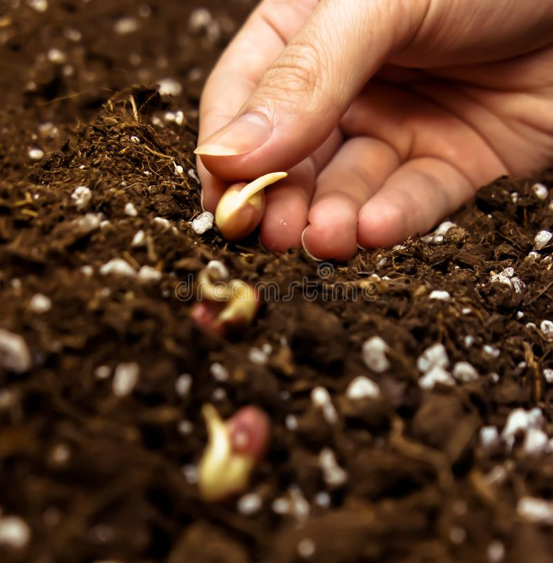 One female hand puts sprouted beans seeds into the ground. With the fertilizer, the three seed, brown shade photo, preset, processed, land on the background, is royalty free stock photography