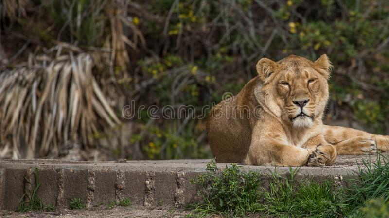 Lions in captivity in the madrid zoo, spain. One female lion in captivity sunbathing in the madrid zoo, spain royalty free stock photos