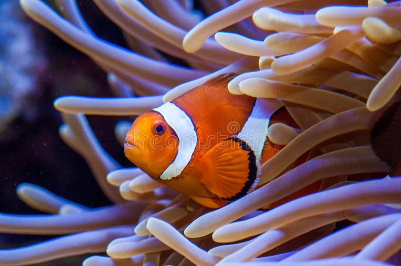A clown fish in a sea anemone. royalty free stock image