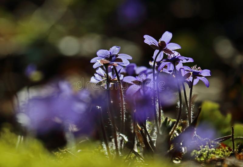 Hepatica nobilis - early spring beauties. One of the first beauties of early spring - Hepatica nobilis stock image
