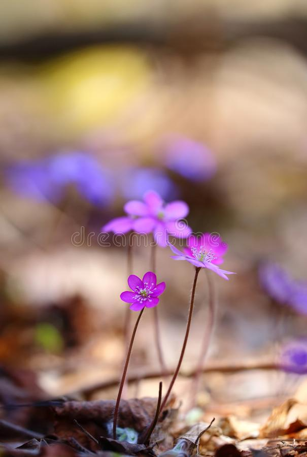 Hepatica nobilis - early spring beauties. One of the first beauties of early spring - Hepatica nobilis. Rare - f. rubra royalty free stock photo