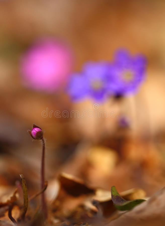 Hepatica nobilis - early spring beauties. One of the first beauties of early spring - Hepatica nobilis. Rare - f. rubra royalty free stock photography