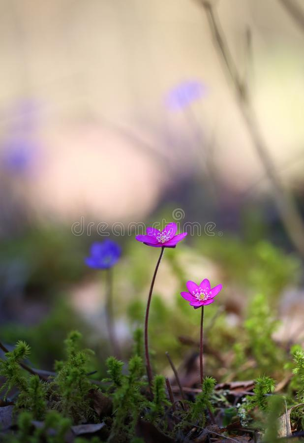 Hepatica nobilis - early spring beauties. One of the first beauties of early spring - Hepatica nobilis. Rare - f. rubra royalty free stock images