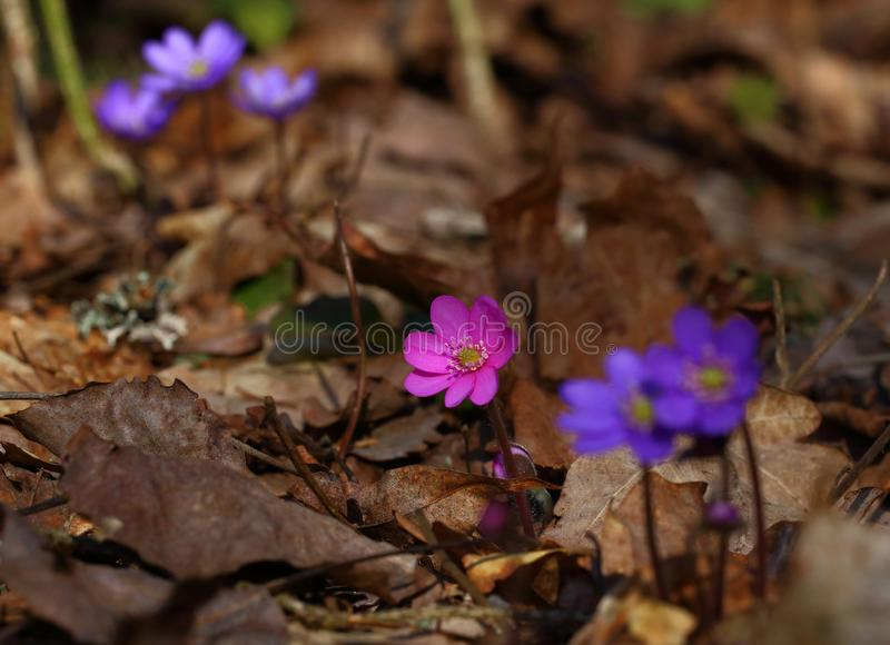 Hepatica nobilis - early spring beauties. One of the first beauties of early spring - Hepatica nobilis. And rere one - f. rubra stock photos