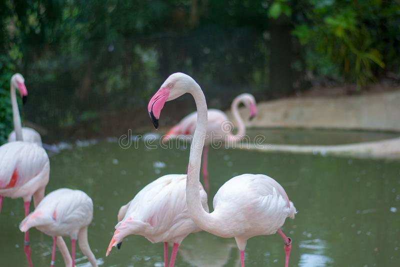 One Flamingo stands out from their group, it has bright pink beak and legs. They are feeding in the pond in the zoo royalty free stock photos