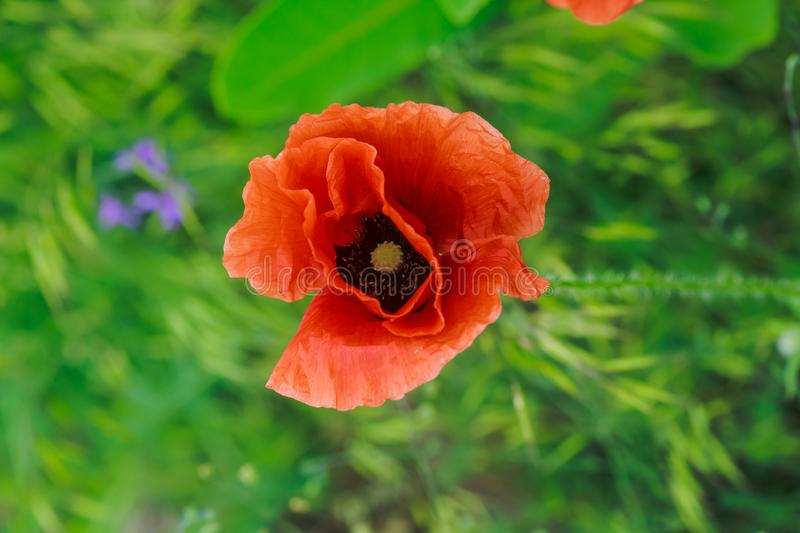 Papaver rhoeas, common, corn, Flanders, red poppy, corn rose, field is flowering plant poppy family Papaveraceae. Bees collect pol. One Flanders, red poppy, corn royalty free stock photography