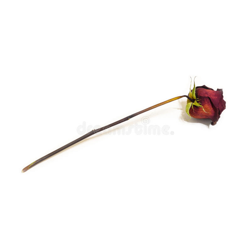 One flower dried dead flowers red rose. Wilted roses. Isolated o stock image