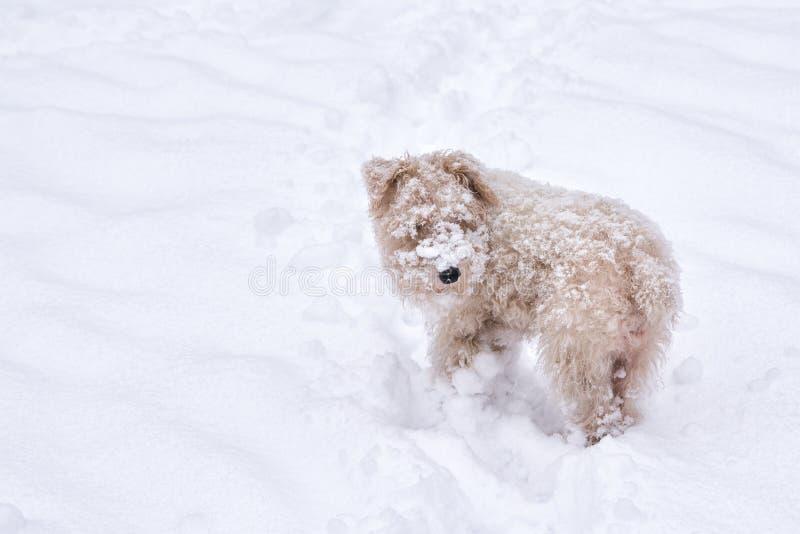 One fluffy white cream dog in snowdrift royalty free stock image